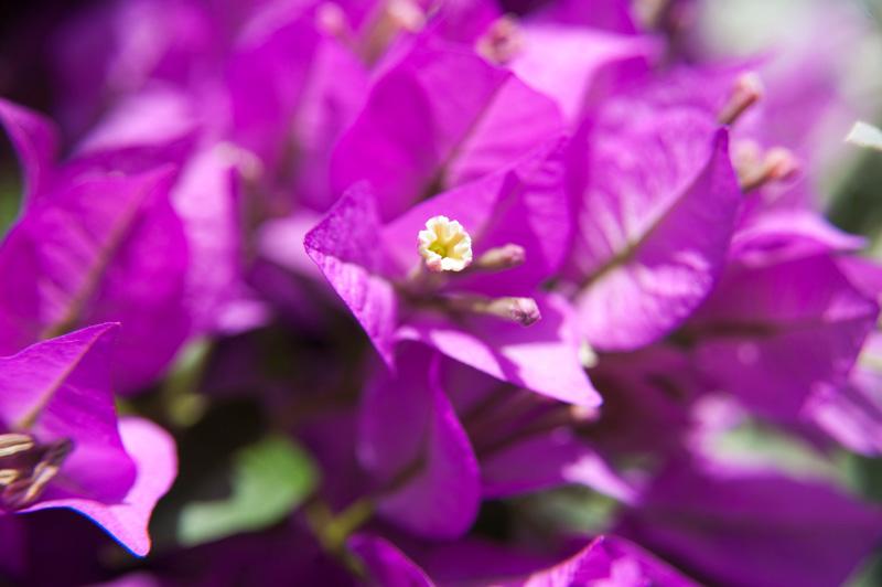 Die intensiv gefärbten Blüten der Bougainvillea