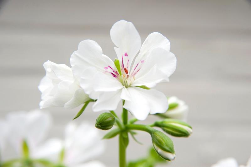 Filigrane Blüte der weißen Geranie mit pinken Highlights in der Blütenmitte
