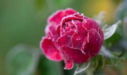 Winterschutz für Rosen