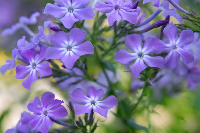 Flammenblume Phlox Gartenzauber