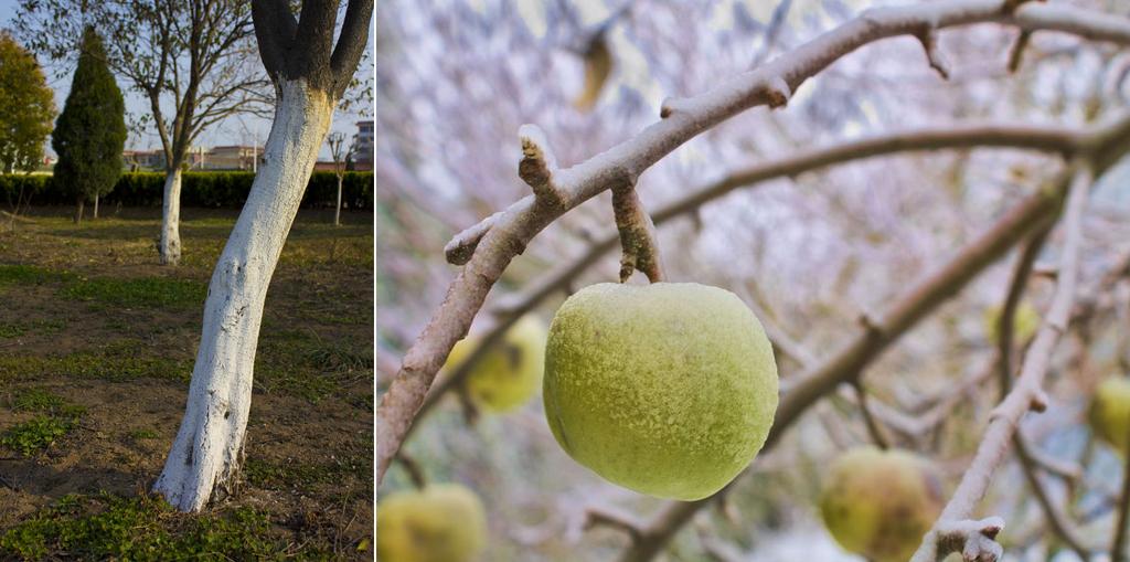 Bild 1 Doppelbild Apfelpflege