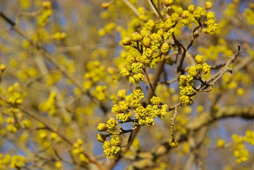 Wer schon vor den Narzissen erste Blüten wünscht, sollte eine Kornelkirsche (Cornus mas) pflanzen.