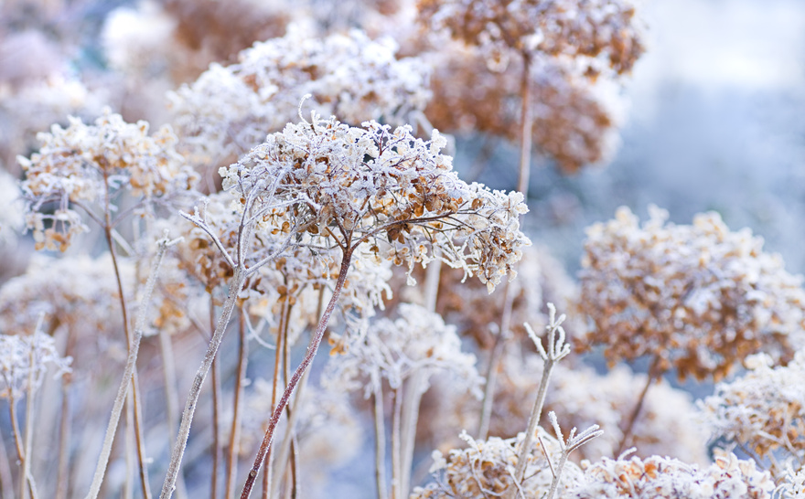 The icy flowers of the winter
