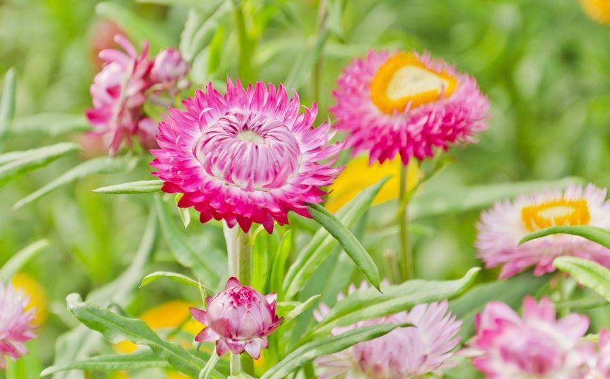 Strohblumen Trocknen garten strohblume gartenzauber