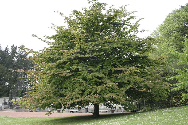 Eisenholzbaum Parrotia Persica Gartenzauber