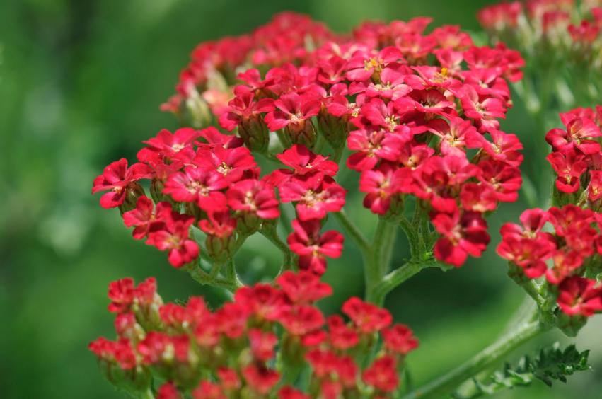 Blooming red yarrow
