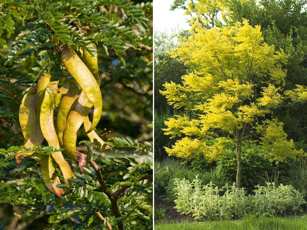 Gleditschie (Gleditsia triacanthos) - Gartenzauber