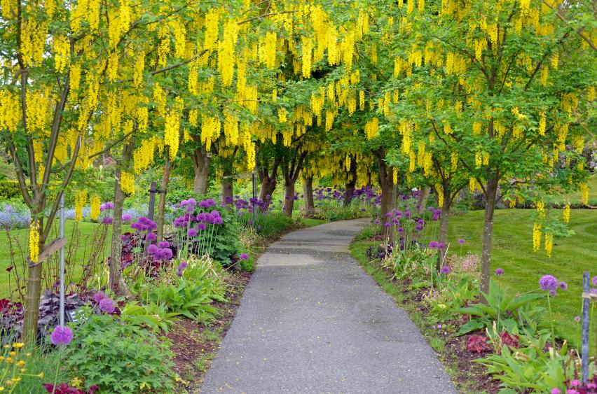 Goldregen (Laburnum) - Gartenzauber