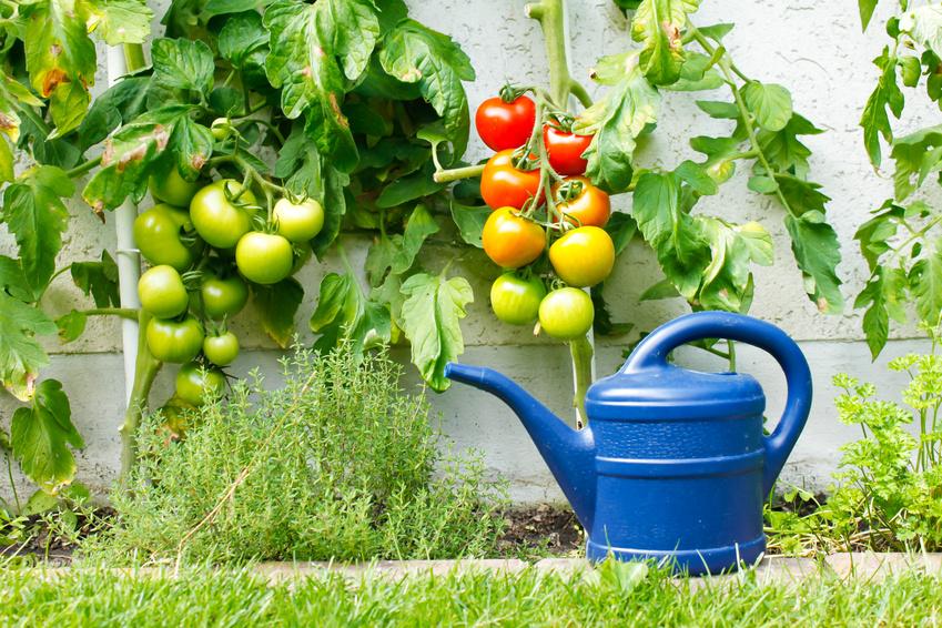 Tomatenpflege im Garten