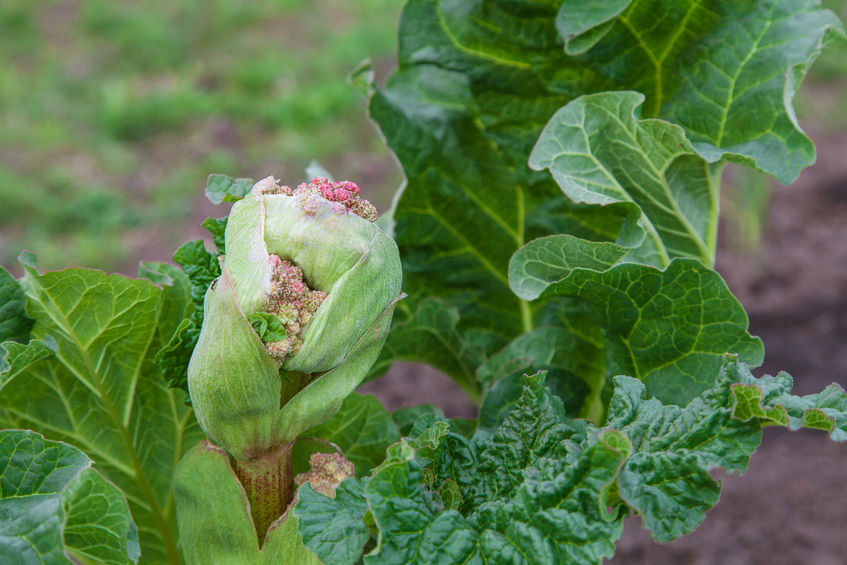 39569194 - the rhubarb are in blossom (flower head)