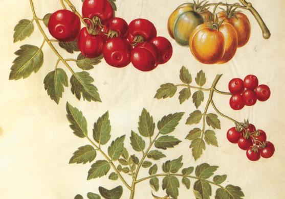Tomaten  - staatliches Museum für Kunst, Kopenhagen