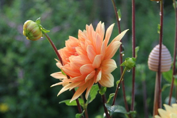 Dahlie, orange