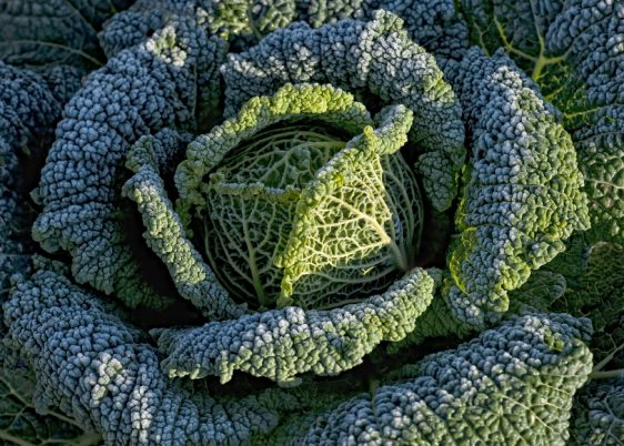 Gemüse Wirsing