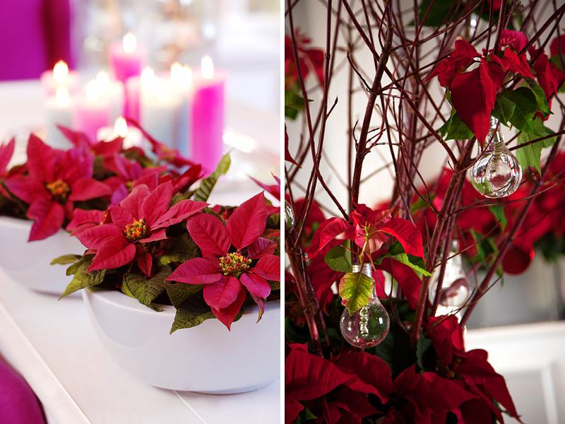 Weihnachtssterne Gartenzauber
