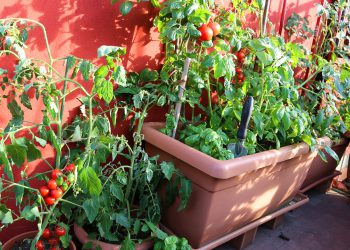 red tomatoes and green plant in the terrace of house