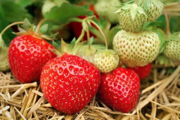 Reife und unreife Erdbeeren am Strauch