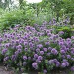 Bildunterschrift: Noch viel zu wenig bekannt ist das auch als Rosenwaldmeister bekannte Baldriangesicht (Phuopsis stylosa). Die violetten Blütentuffs duften frisch-würzig. (Bildnachweis: GMH/Christiane Bach)