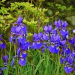 Das intensive Blau dieser Iris sibirica zieht in der Blütezeit von Mai bis Juni alle Blicke auf sich. Sie wirkt als Solitär vor der Bitterorange, die noch ohne Blüten und Früchte einfach nur den grünen Ruhepol im Hintergrund des Beetes bietet.