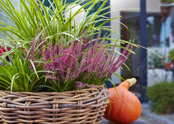 Aufgehübscht: Seggen verleihen bewährten Herbstblühern wie dem Heidekraut eine frische Note.