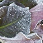 Vom Frost geküsst: Die Blätter vieler Bergenien-Sorten (Bergenia-cordifolia-Hybriden) nehmen im Winter einen rötlichen Farbton an.