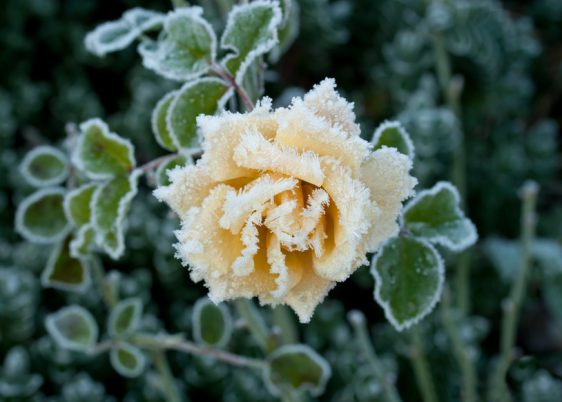 "Rosa variety ""Sussex"" covered in hoar frost during English winter in West Sussex"