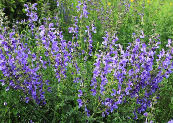 Meadow Sage (Salvia pratensis) - herbaceous perennial plant in Poland
