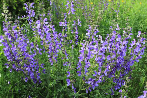 Meadow Sage (Salvia pratensis) - herbaceous perennial plant in Poland