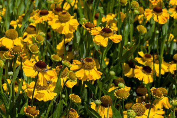 Gelbe Blüten der Sonnenbrautsorte 'El Dorado'