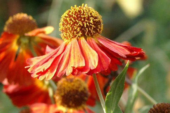Sympathieträger: Kaum eine Staude kommt so freundlich und charmant daher wie die Sonnenbraut. Von den farbenfrohen Zungenblüten umgeben sind die dicht gedrängt sitzenden nektarreichen Röhrenblüten, die bei Bienen überaus beliebt sind.