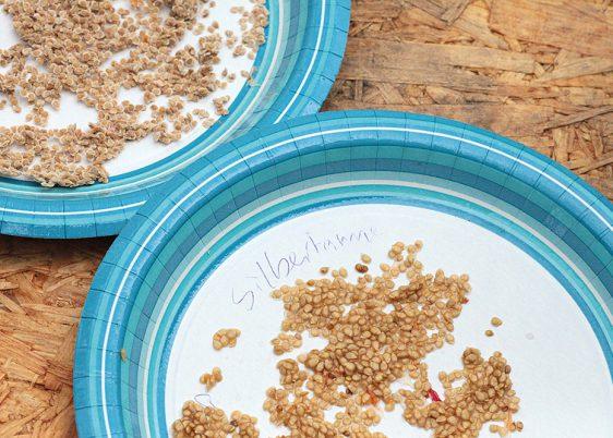 Die Samen auf einem Kaffeefilter oder Pappteller trocknen.