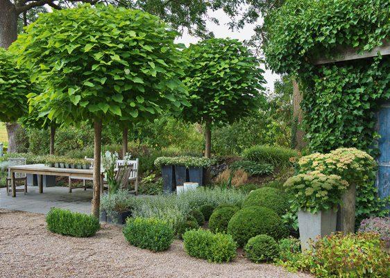 Der Trompetenbaume (Catalpa bignonioides) 'Nana' bleibt mit 4 bis 7 Metern ein kleiner Baum, die breite kugelige Krone spricht aber mit den großen Blättern eine ganz attraktive und ausdrucksstarke Formensprache.