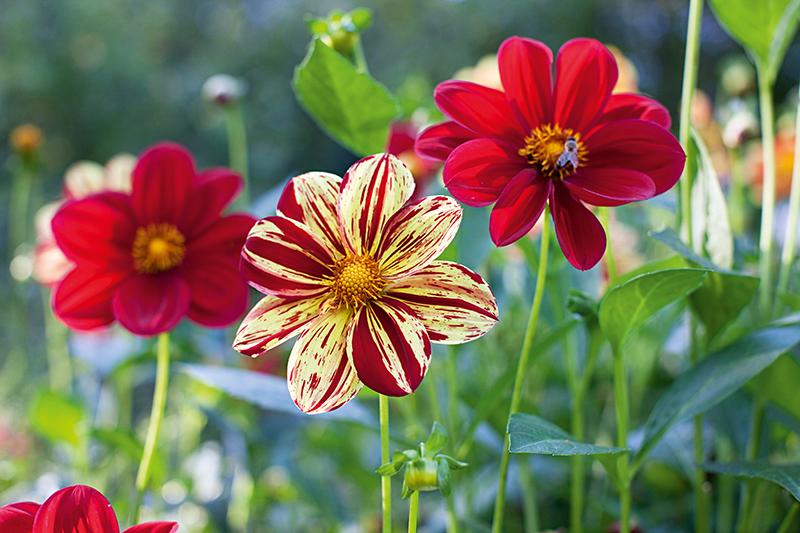 Dahlien richtig pflegen - Gartenzauber