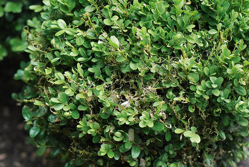 Buchsbaum krankheit