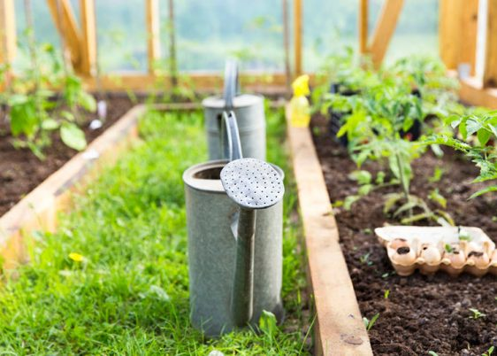 79794163 - organic farming, gardening, agriculture concept. watering can in greenhouse