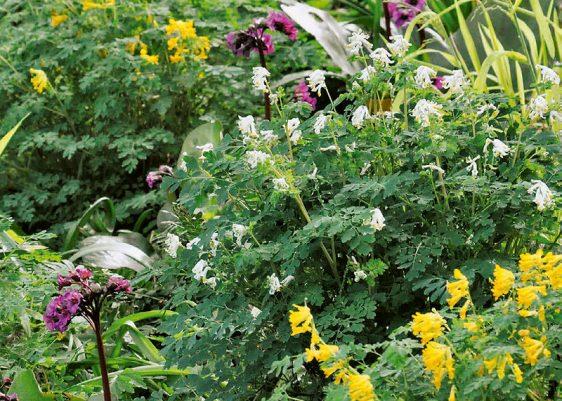 Fröhliche Runde: Mit Gelbem und Weißem Lerchensporn (Pseudofumaria lutea, P. alba) sowie Bergenien (Bergenia cordifolia 'Eroica') kommt ab Mai Farbe ins Spiel.
