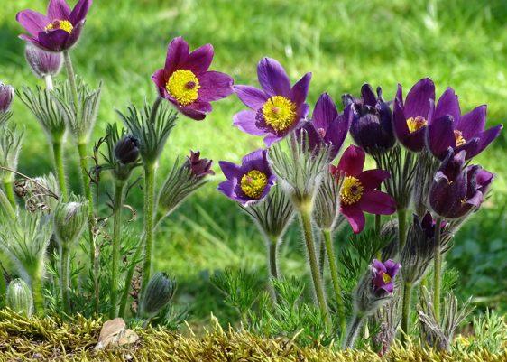 Die Küchenschelle (Pulsatilla) ist ein Juwel für sonnige Steingärten oder Beete mit durchlässigem Boden. Der zarte, die ganze Pflanze bedeckende Flaum scheint wie von feinem Pinselstrich gezogen. Auch die fedrigen Samenstände sind eine Zier.