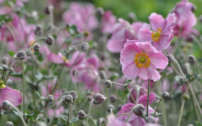 Japan-Anemone 'Rosenschale' (Anemone japonica)