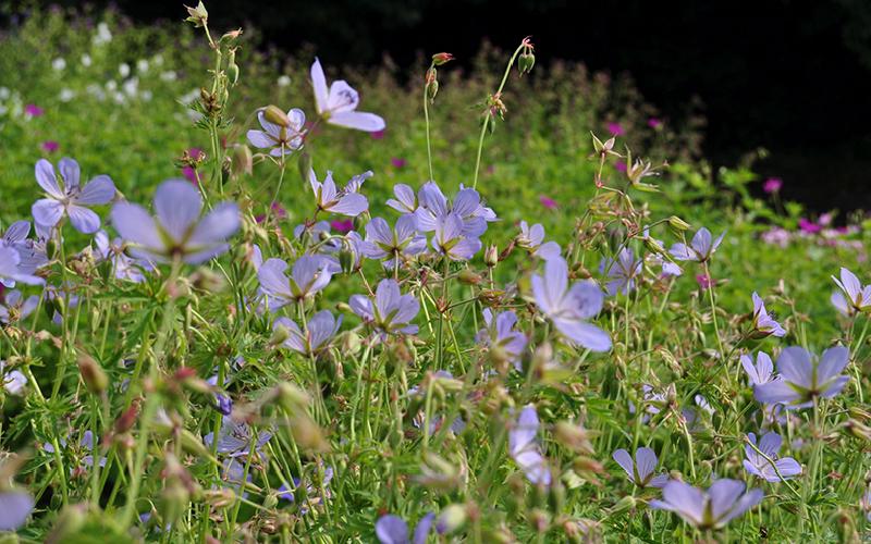 Storchschnabel 'Blue Cloud' (Geranium, Collinum-Gruppe)