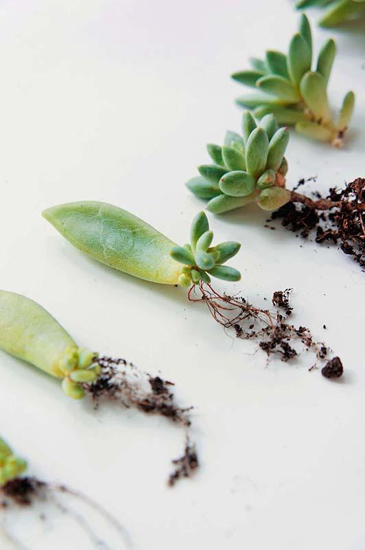 geldbaum vermehren