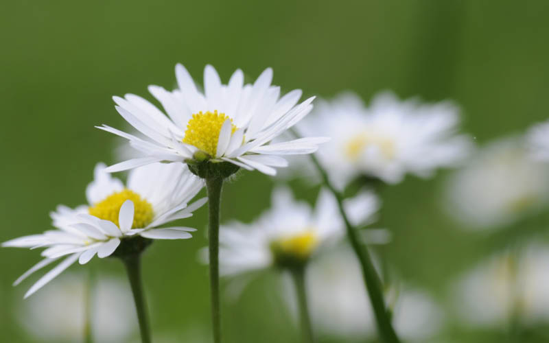 Gänseblümchen, Bellis perennis