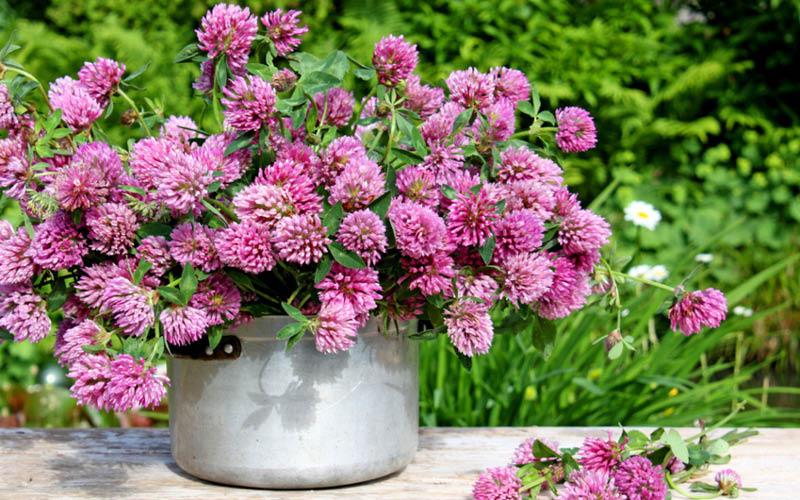 Wiesenklee, Trifolium pratense