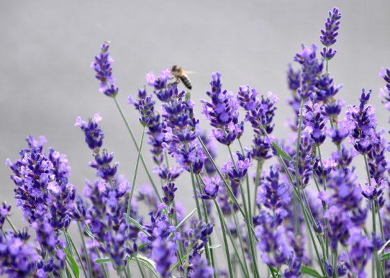 Bildunterschrift: Der liebliche-w¸rzige? Duft des Lavendels (Lavandula angustifolia) l‰sst Bilder aus der Provence vor dem inneren Auge emporsteigen. (Bildnachweis: GMH/Peter Behrens)